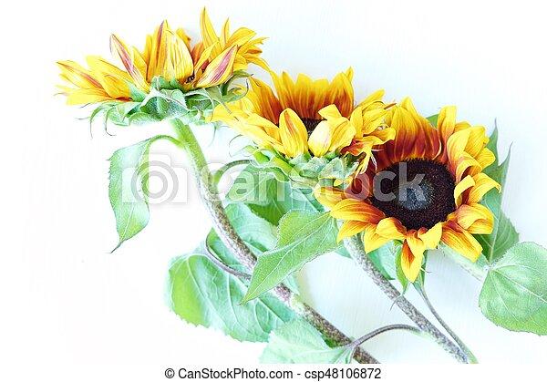 Beautiful summer sunflowers on white background view - csp48106872