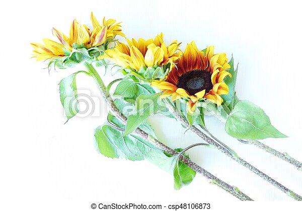 Beautiful summer sunflowers on white background view - csp48106873