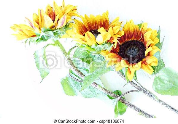 Beautiful summer sunflowers on white background view - csp48106874