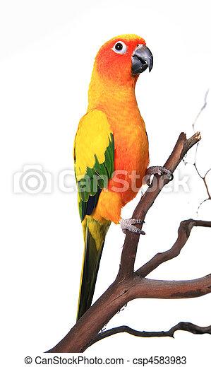 Beautiful Sun Conure Bird on a Branch - csp4583983