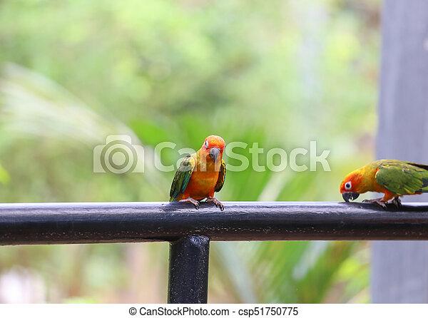 Beautiful sun conure parrot - csp51750775