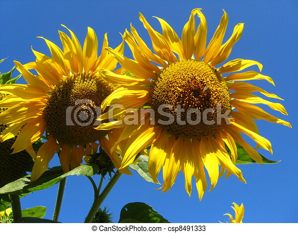 Sunflower Line Drawing : A pair of the beautiful sunflower drawings search clipart