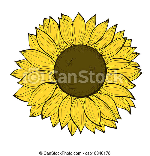 beautiful sunflower isolated on a white background - csp18346178
