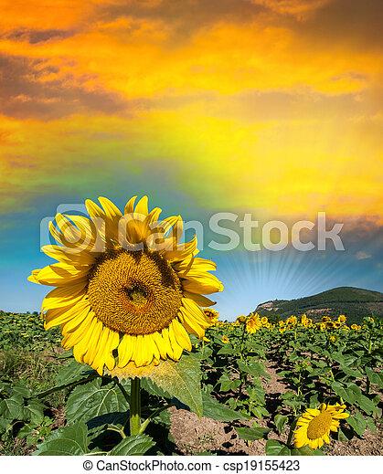 Beautiful sunflower on a field in summer - csp19155423