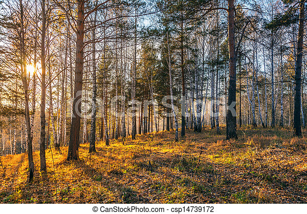 Beautiful sunset in autumn forest. - csp14739172