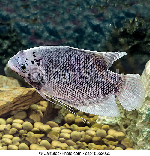 Beautiful Tilapia Fish In Water Tank
