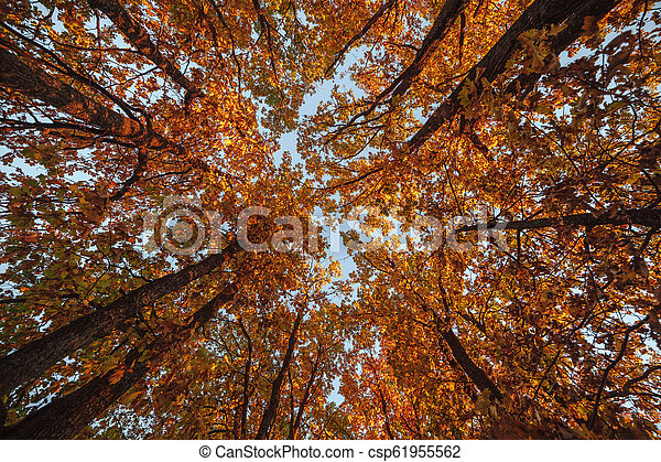 Beautiful trees set against the blue sky. Sunset at the autumn forest in Russia. View on the top of the trees. - csp61955562