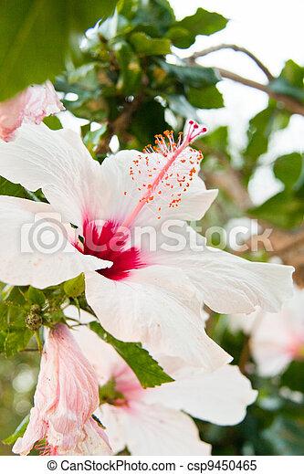 Beautiful tropical white hibiscus malvaceae flower in summer ...