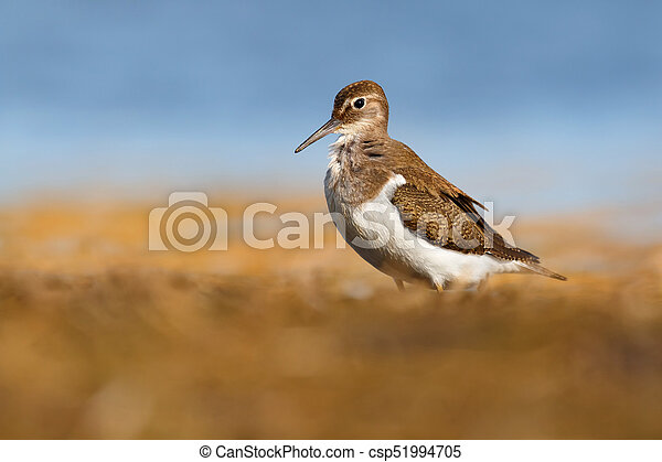 Beautiful wader bird on the ground. Common sandpiper - csp51994705