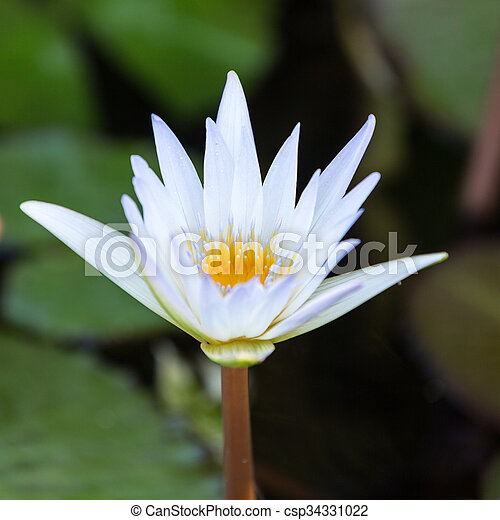 Beautiful water lily lotus flower in pond beautiful water lily lotus flower in pond csp34331022 mightylinksfo