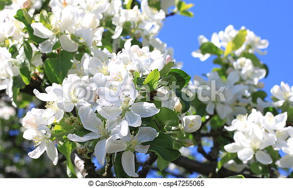 Beautiful white apple blossoms and green apple tree leaves... stock ...