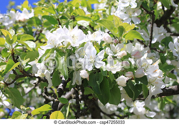 Beautiful white apple blossoms and green apple tree leaves in apple ...