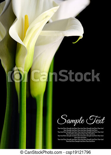 Beautiful white Calla lilies with reflection on black background - csp19121796
