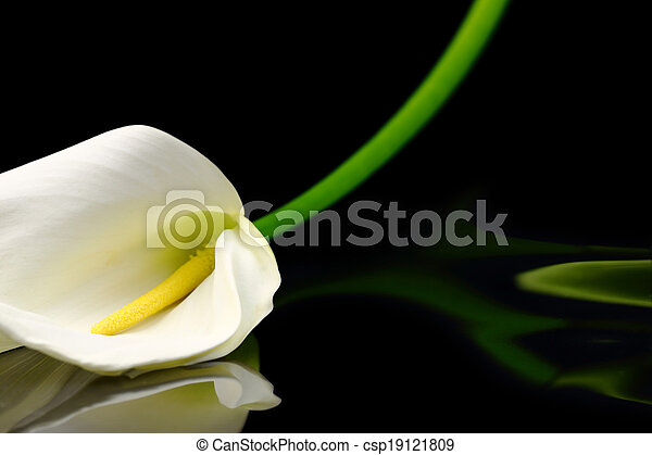 Beautiful white Calla lily with reflection on black background - csp19121809