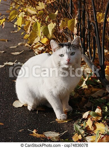 Beautiful white cat with blue eyes close up - csp74836078