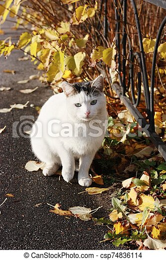 Beautiful white cat with blue eyes close up - csp74836114