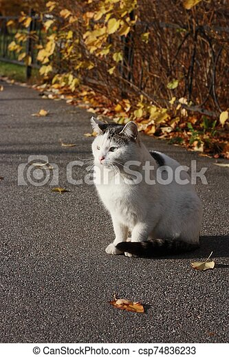 Beautiful white cat with blue eyes close up - csp74836233