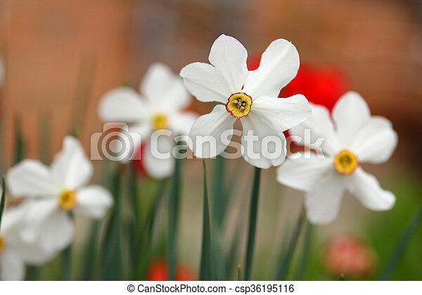 A beautiful white daffodil flower beautiful white daffodil flower csp36195116 mightylinksfo
