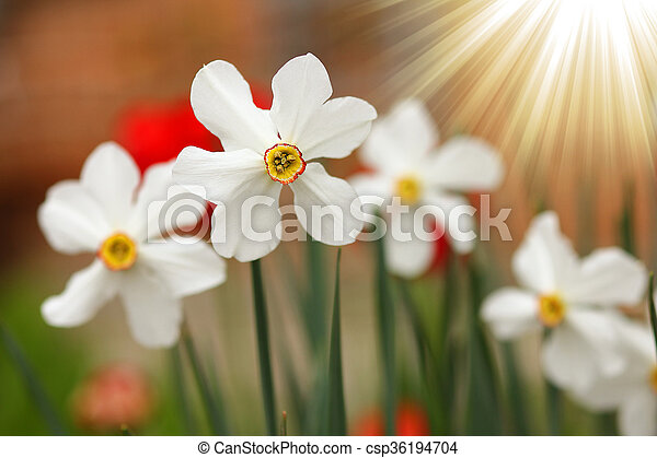 A beautiful white daffodil flower stock photography search beautiful white daffodil flower csp36194704 mightylinksfo