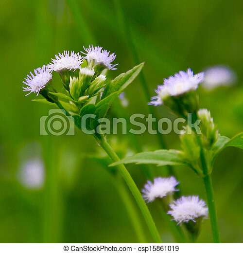 Beautiful white flower of small weed cover all the ground beautiful white flower of small weed cover all the ground csp15861019 mightylinksfo