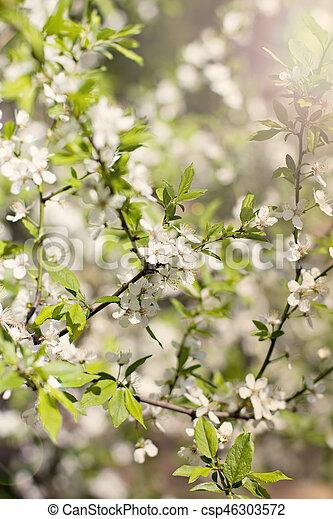 Beautiful white flowering shrub Spirea aguta (Brides wreath). - csp46303572
