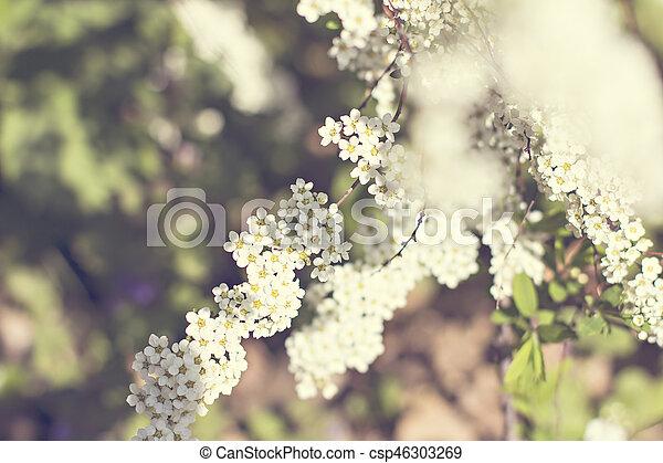 Beautiful white flowering shrub Spirea aguta (Brides wreath). - csp46303269