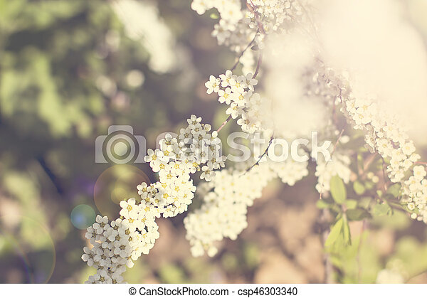 Beautiful white flowering shrub Spirea aguta (Brides wreath). - csp46303340