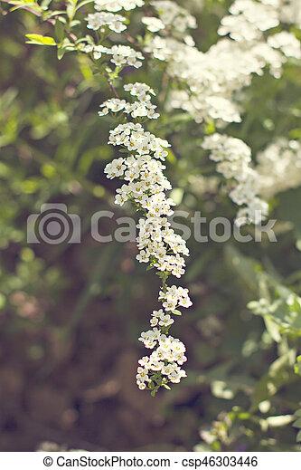 Beautiful white flowering shrub Spirea aguta (Brides wreath). - csp46303446