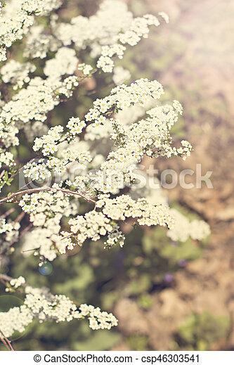 Beautiful white flowering shrub Spirea aguta (Brides wreath). - csp46303541