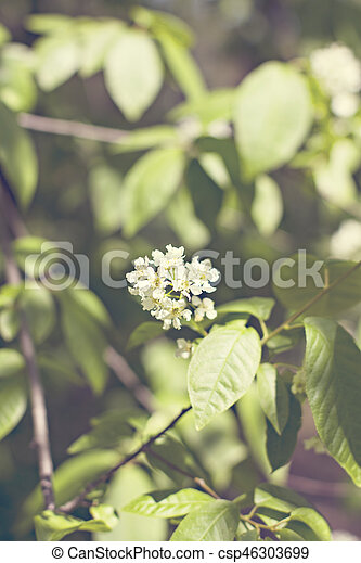 Beautiful white flowering shrub Spirea aguta (Brides wreath). - csp46303699