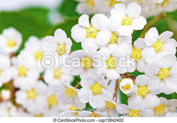 Beautiful white flowering shrub Spirea aguta (Brides wreath). - csp13842402