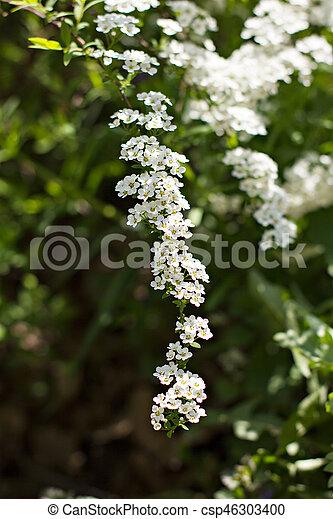 Beautiful white flowering shrub Spirea aguta (Brides wreath). - csp46303400
