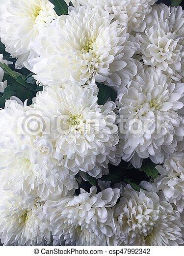 Beautiful white flowers chrysanthemum stock photo search beautiful white flowers chrysanthemum csp47992342 mightylinksfo