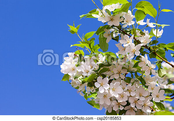 Beautiful white flowers of apple tree against blue sky - csp20185853