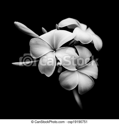 Beautiful white flowers Plumeria (Frangipani) isolated on black background - csp19190751