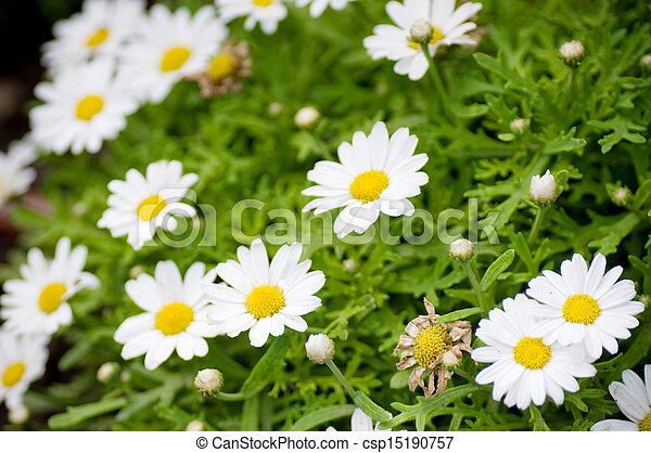 Beautiful white flowers - csp15190757