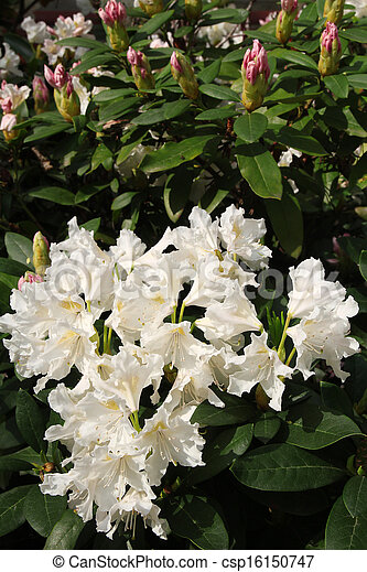 beautiful white flowers - csp16150747