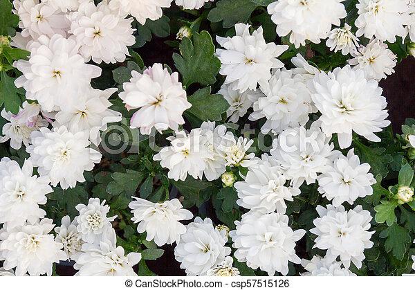 beautiful white flowers - csp57515126