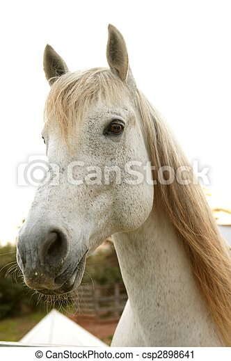 Beautiful white horse looking to camera - csp2898641