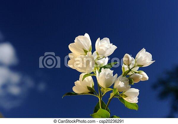 Beautiful White Jasmine Flowers on Bright Blue Sky Background - csp20236291