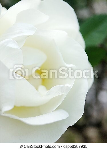 Beautiful white rose on the flower bed - csp58387935
