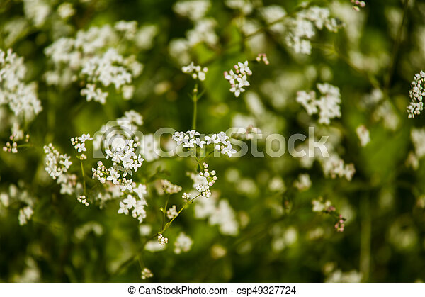 Beautiful white tiny flowers in a natural habitat in summer in meadow beautiful white tiny flowers in a natural habitat in summer csp49327724 mightylinksfo