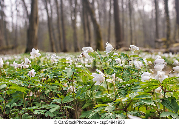 Beautiful wild white flowers in forest on sunny spring day closeup beautiful wild white flowers in forest csp54941938 mightylinksfo