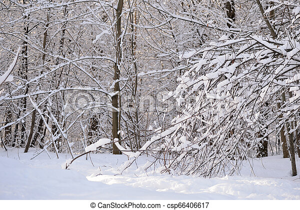 Beautiful winter forest on a sunny day - csp66406617