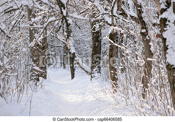 Beautiful winter forest on a sunny day - csp66406585