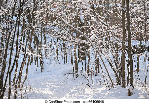 Beautiful winter forest on a sunny day - csp66406646