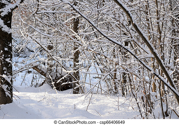 Beautiful winter forest on a sunny day - csp66406649