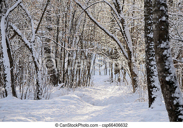Beautiful winter forest on a sunny day - csp66406632