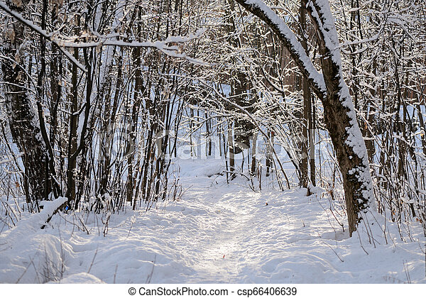 Beautiful winter forest on a sunny day - csp66406639