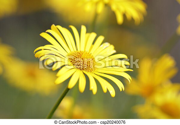 Beautiful yellow daisy blooming in a meadow - csp20240076